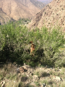 Moroccan goats can climb trees!